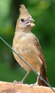fledling cardinal
