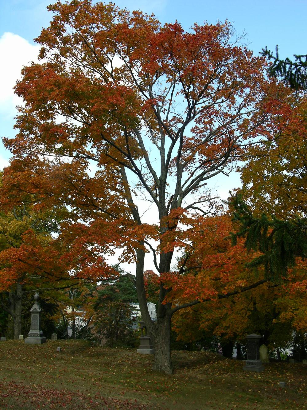 Hingham Tree
