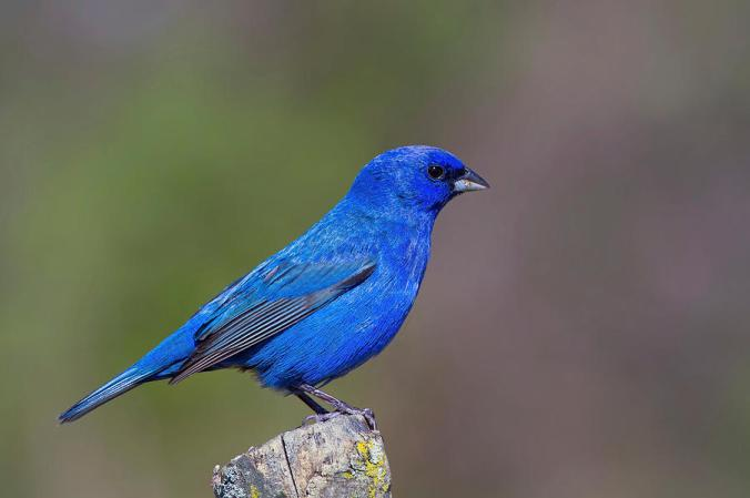 http://fineartamerica.com/featured/indigo-bunting-john-absher.html