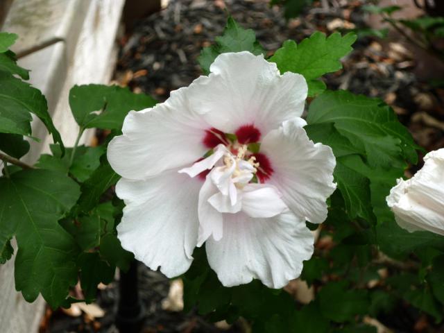 white althea