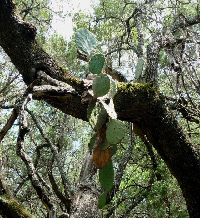 GB-Cactus in Tree Jul 14