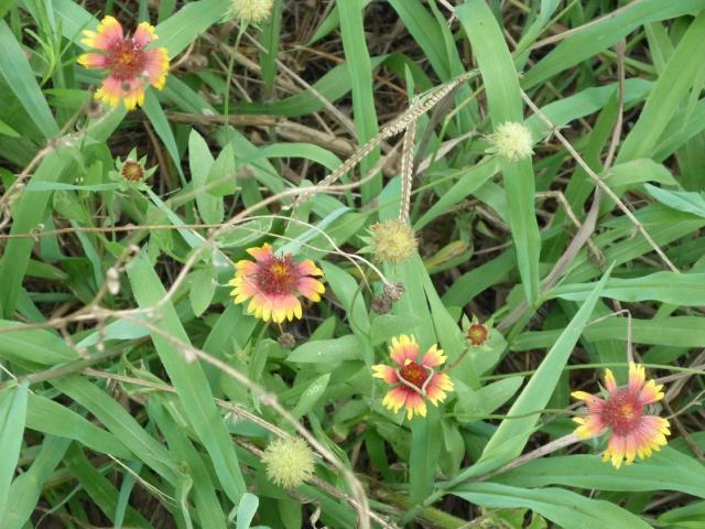 GB-Wild Flowers Jul 14