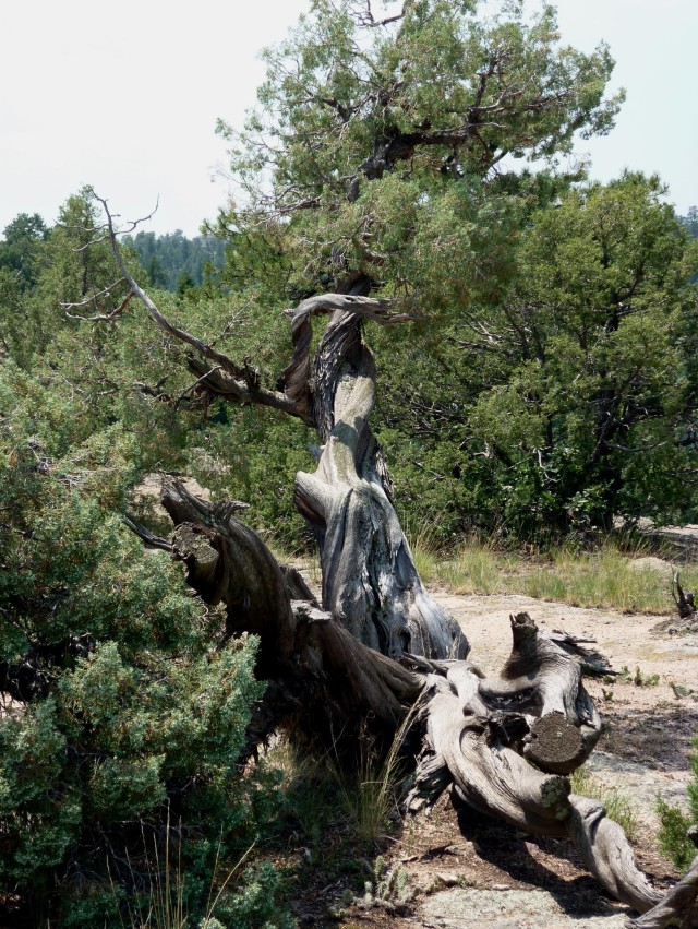 Gnarled Tree - Jul 14