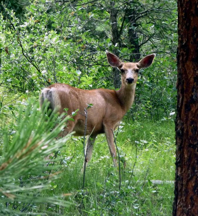 Mule Deer - Jul 14