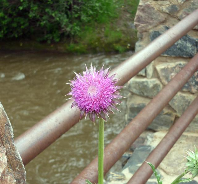 Thistle Flower - Jul 14