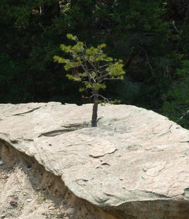 Tree Growing in Rock - Jul 14