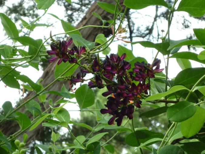 wisteria jul 14