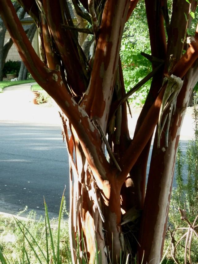 crepe myrtle Aug 14