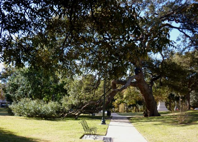 Texas Capitol Grounds - Live Oak