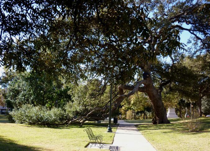 Texas Capitol Grounds - Live Oak