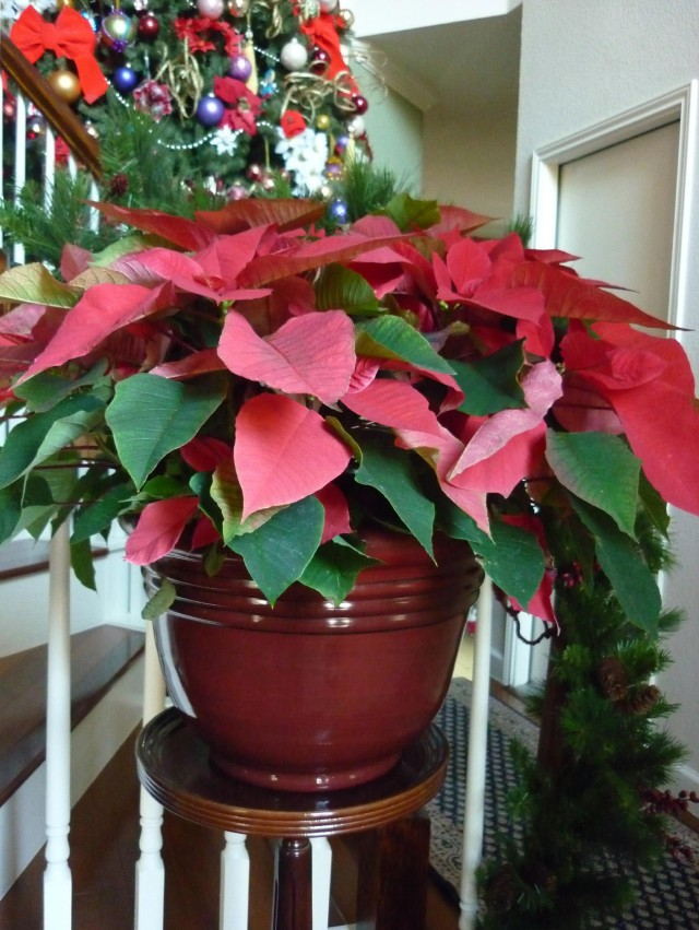 Poinsettia - December 2014