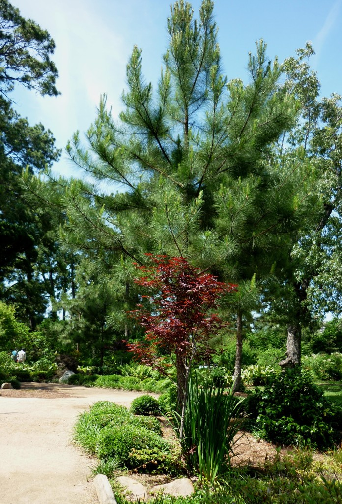 Japanese Maple - Japanese Gardens - Houston - April 2015