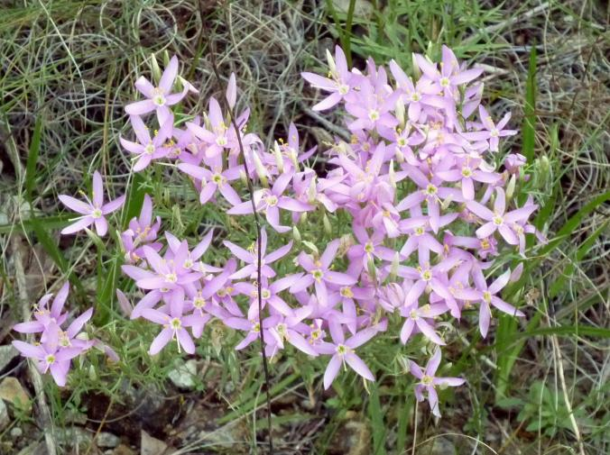 Pink Flowers - July 2015