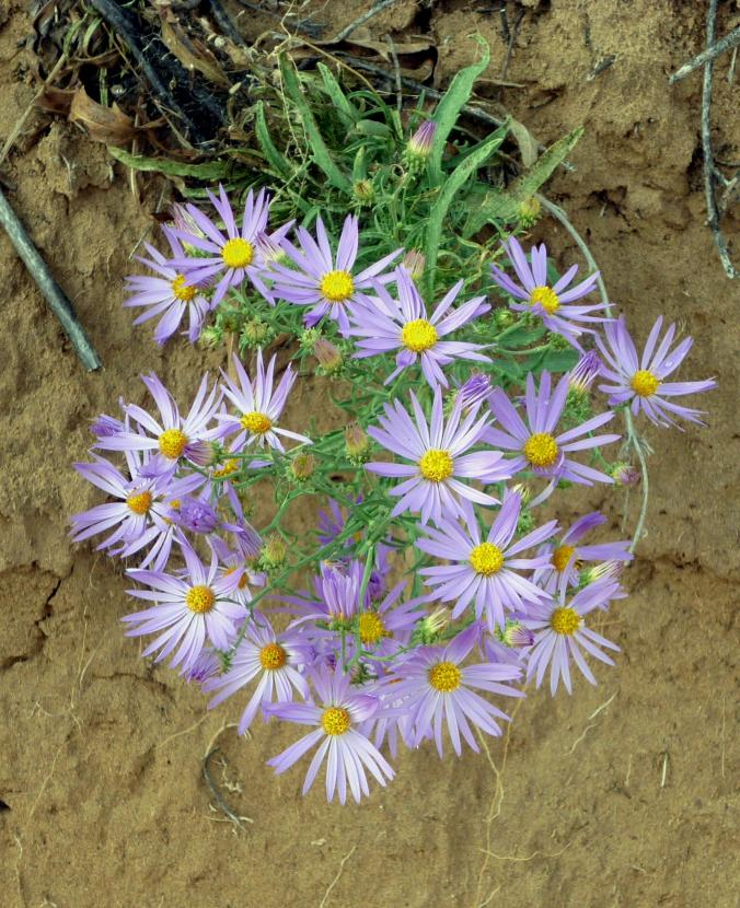 Asters - Petroglyph National Monument - Albuquerque NM - October 2015