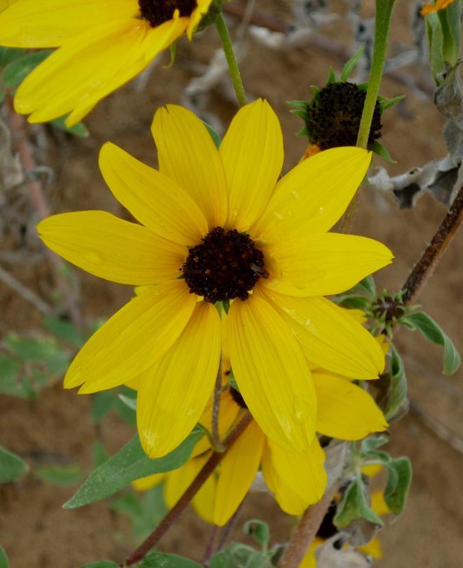 Desert Wild Flower - Petroglyph National Monument - Albuquerque NM - October 2015