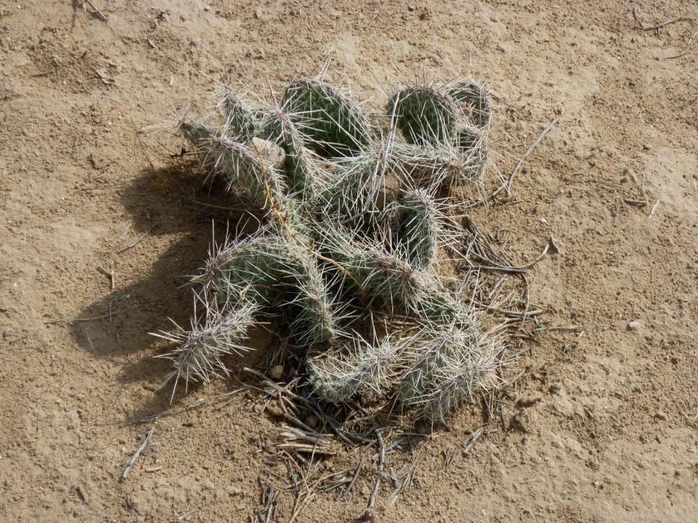 'Starfish' Cactus - JA Volcano - Petroglyph National Monument - Albuquerque NM - October 2015