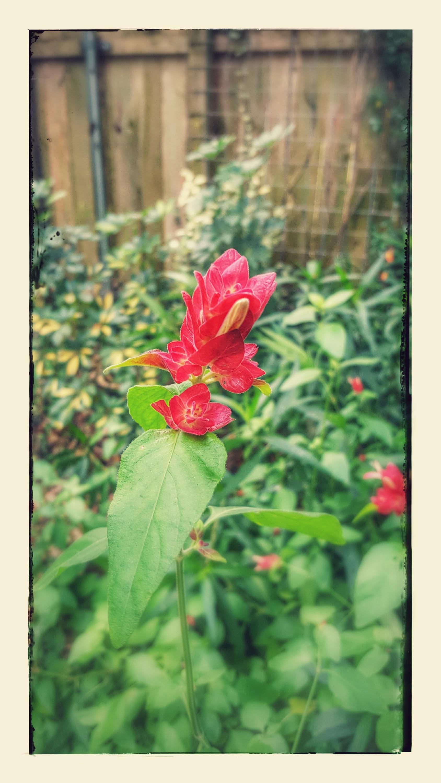 strawberry-shrimp-plant