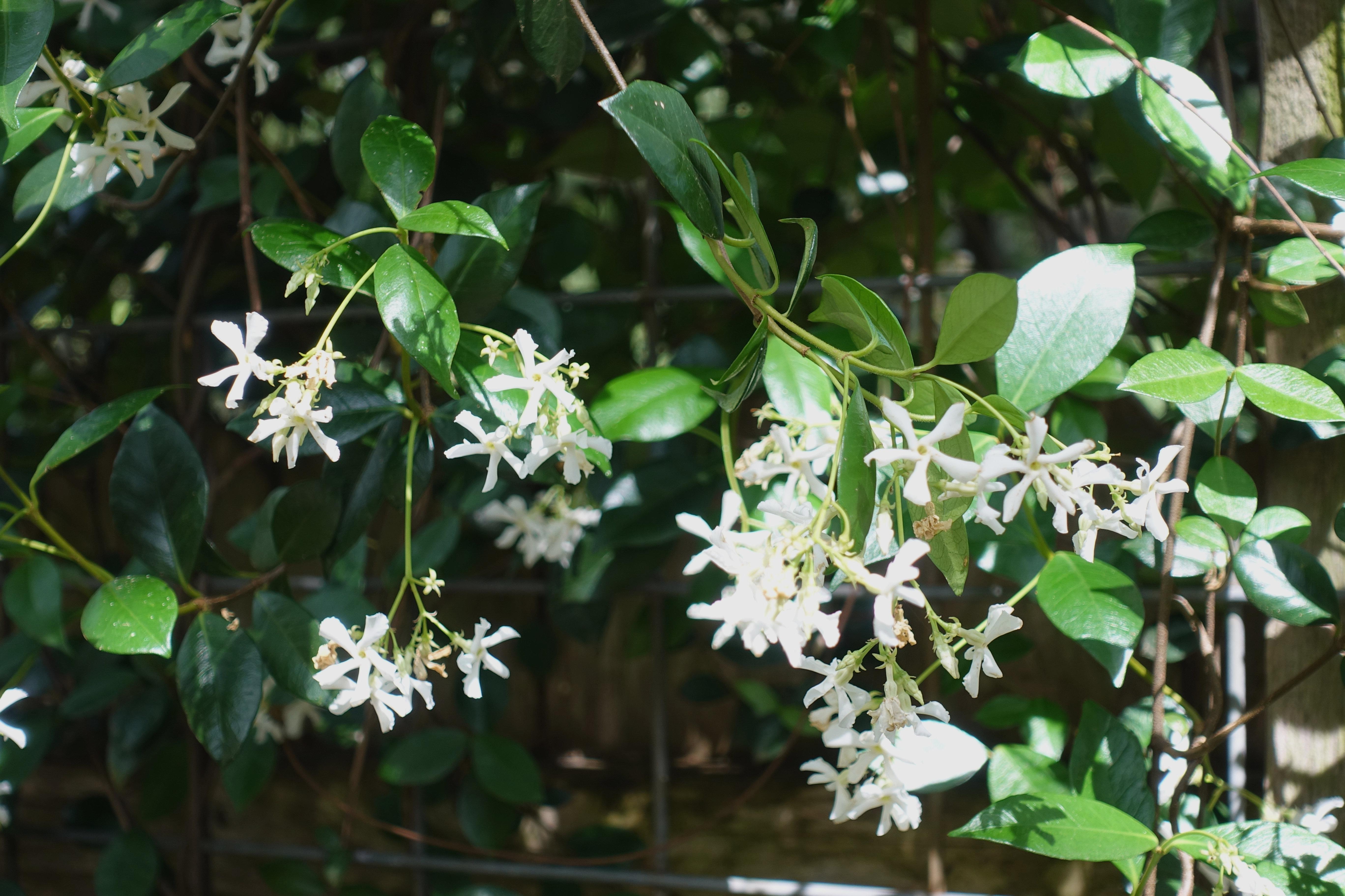 star jasmine (4-29-18)